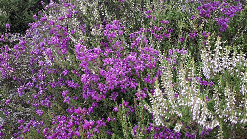 Purple and white Scottish heather in the Highlands of Scotland
