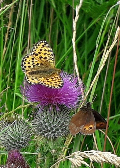 Butterflies on a Scottish thistle near the Great Glen way in the Highlands