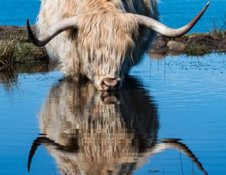 A highland cow and reflection whilst drinking from a loch