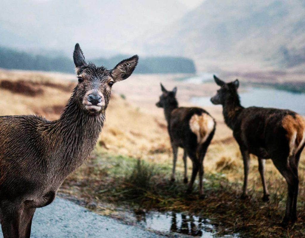 A deer looks into the camera in the rain.