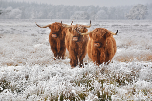 Highland Cows in the winter in a frosty field