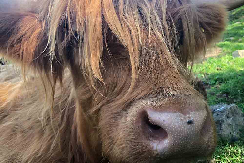 Highland Coo at Camerons Tea Room