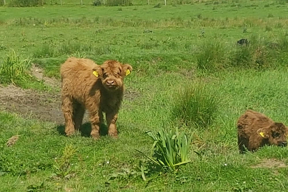 A baby Highland Cow at at Camerons Tea Room