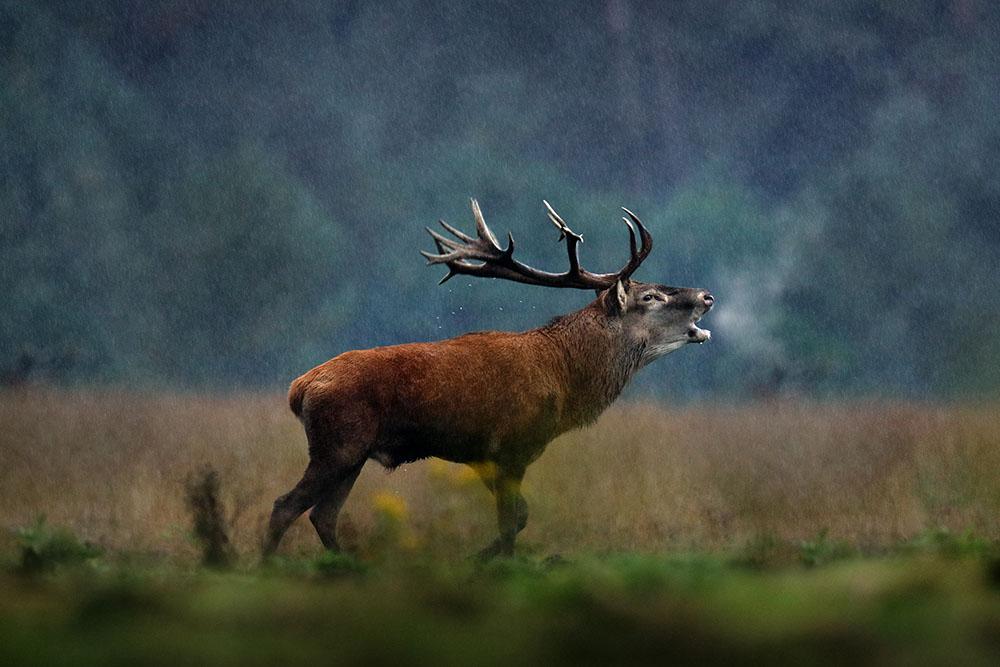 a bellowing deer